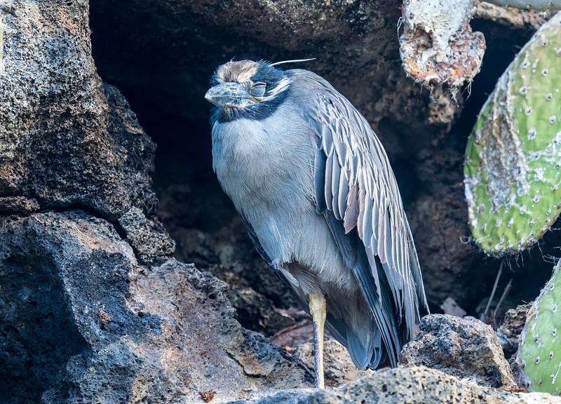Heron on Genovesa, Galapagos