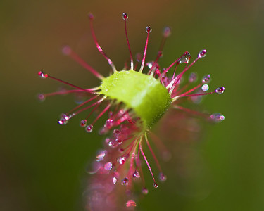 The sticky end of a cape sundew (drosera capensis). Very attractive to your average insect but it's likely to be a fatal attraction.