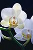White Orchid V2 02-2009