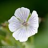 Geranium Flower 06-1012