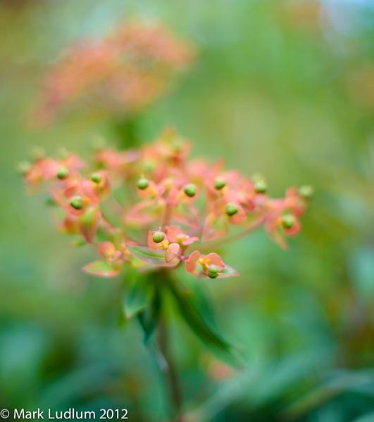 Euphorbia 06-1012