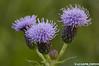 Wildflower, Box Elder County Utah