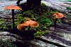 Mushrooms, San Juan National Forest, Colorado