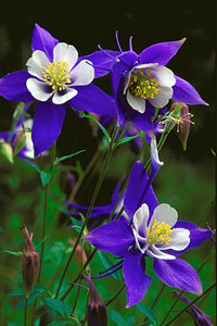 Colorado Columbine in the San Juan National Forest