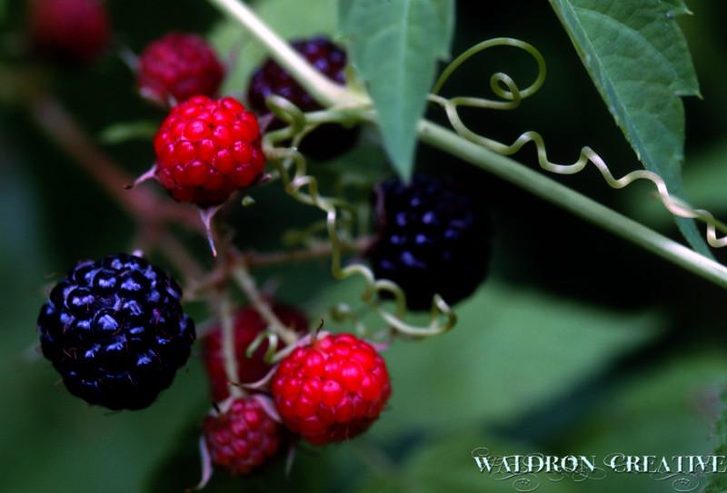 Wild berries in upstate New York