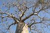 BaobabTree02