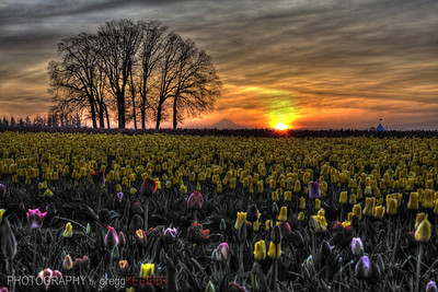 Sunrise over Mt. Hood and the Wooden Shoe Tulip Farm