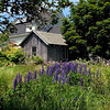 Lupines in Maine with a small seaside cottage in the background