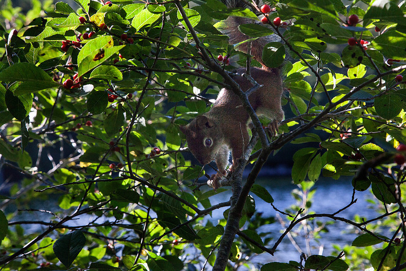 Red Squirrel at Jordan Lake.