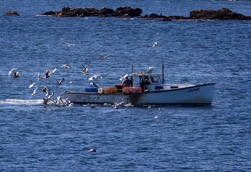 Lobster Fishermen with flock of Seagulls following