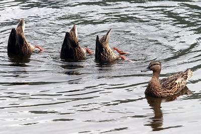 Ducks Diving