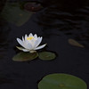 White Long Pond Lily