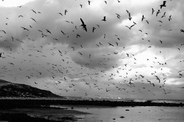 Gulls Malibu Lagoon B&W_7460