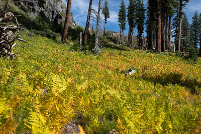 Colorful ferns continue to thrive in the area burned by the Rainbow Falls fire near Mammoth, CA.