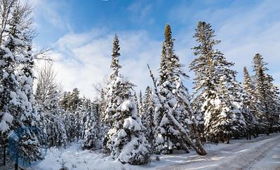Snow Laden Tree Panoramic Horizontal