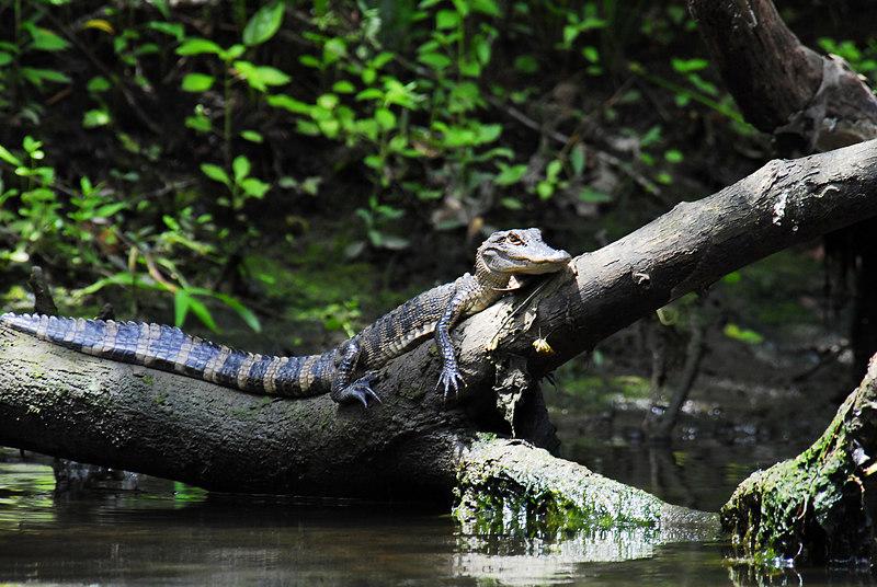 Manatee Springs - Alligator on Log