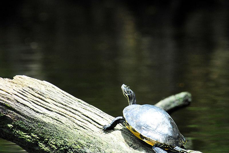 Manatee Springs - Turtle on Log