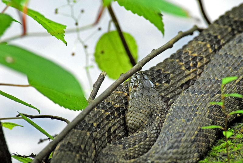 Manatee Springs - Brown Water Snake
