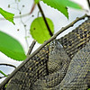 Manatee Springs - Brown Water Snake