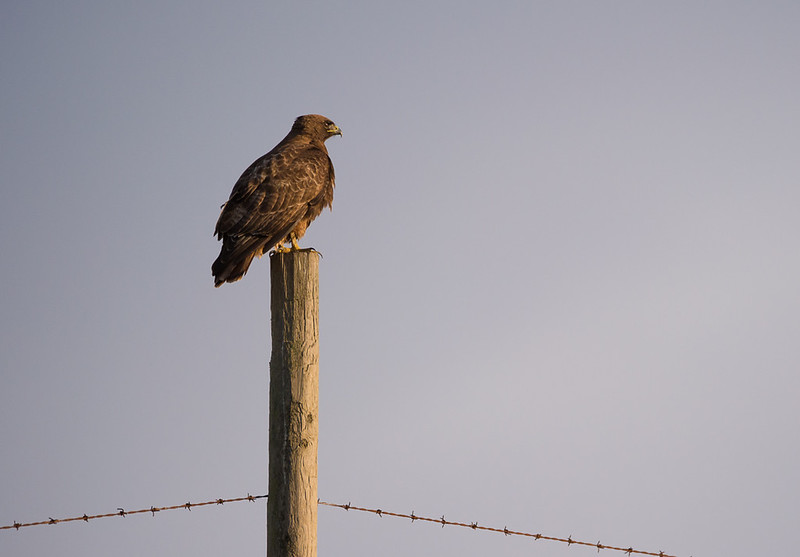 hawk on post 4