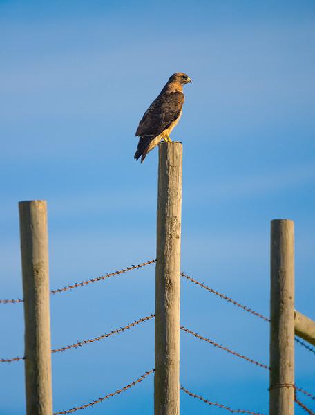 hawk on post 8