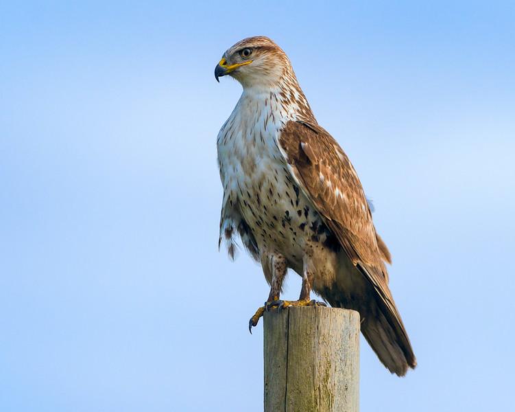 hawk on post 3
