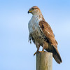 hawk on post 3