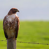 hawk on post 5