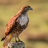 hawk on post 6