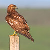 hawk on post 1