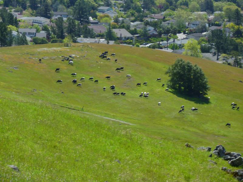 Dairy Cows Grazing Mt. Burdell
