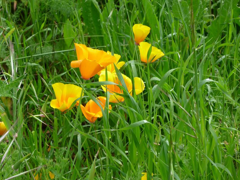 Poppies Mt. Burdell