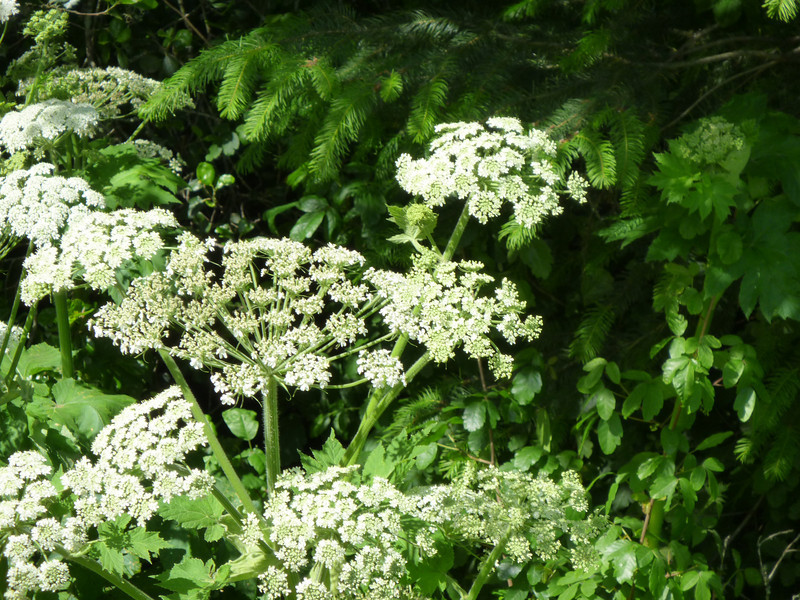 Queen Anne's Lace, Bear Valley Trail Pt. Reyes