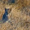 bobcat waiting