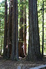 "Redwood trees that sprouted hundreds of years ago around the parent which has since died and decomposed leaving a ring of trees called a ""Cathedral"""