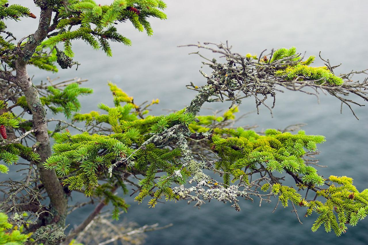 Pine over the ocean