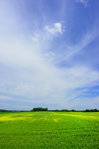 A field of canola in Baldwin Mills, Quebec