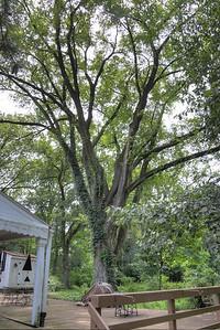 Markle home elm tree in back yard