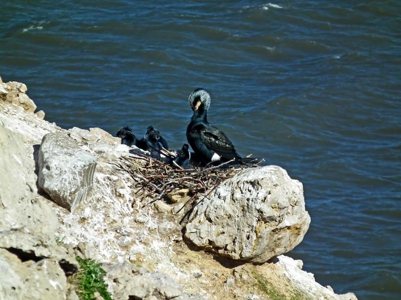Cormorant and chicks