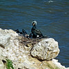 Cormorant and chicks