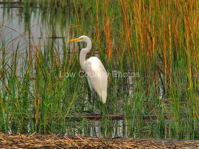 Tall Grass Egret