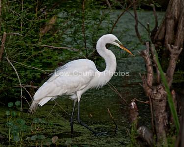 White Egret in the Marsh