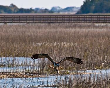 Osprey in the Marsh