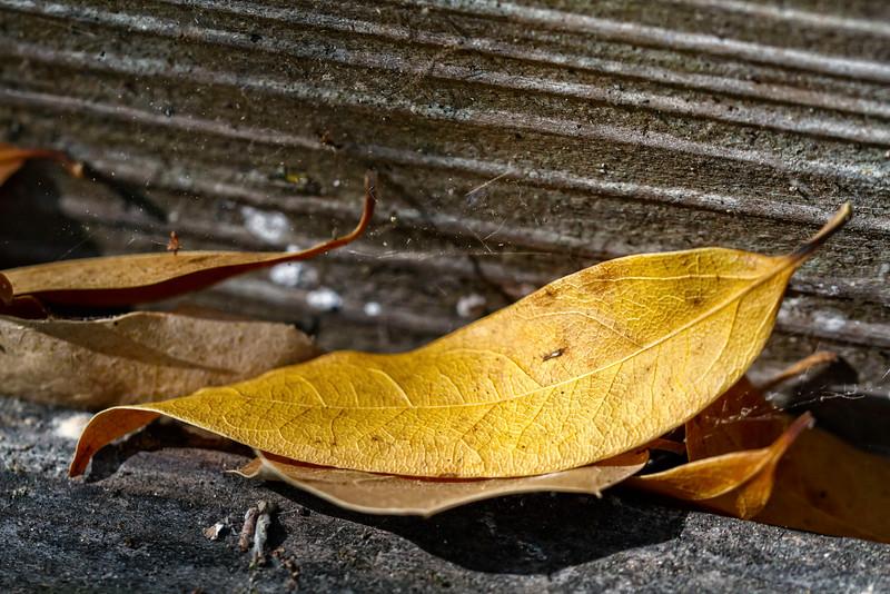 Late Light Leaf