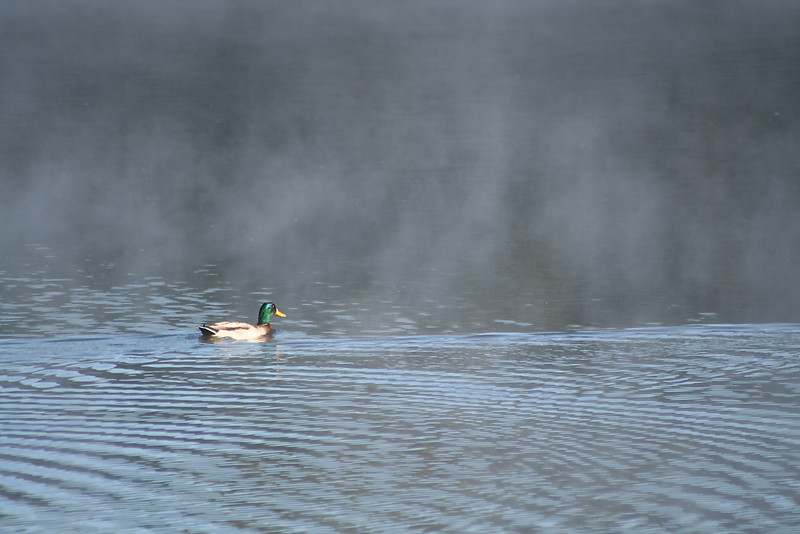 Duck in the Mist