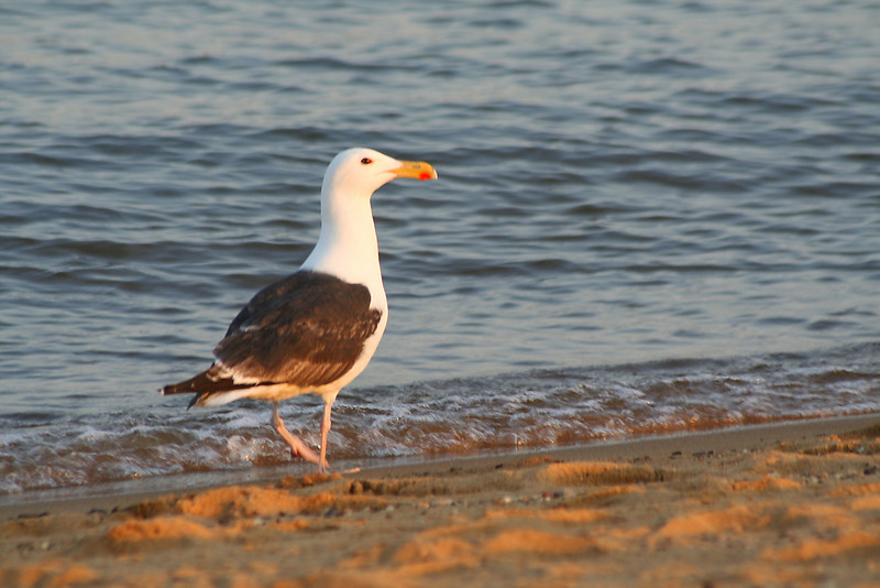 Sandy Point Seagull