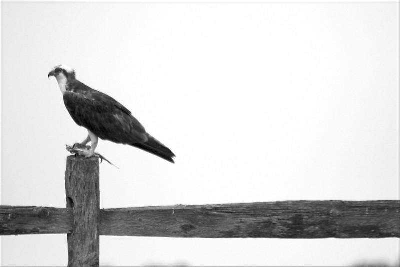 Osprey on the Fence