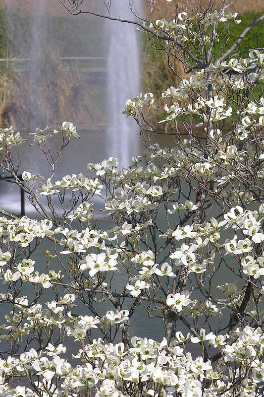 Dogwoods with the Greenbelt Lake fountain in the backgorund