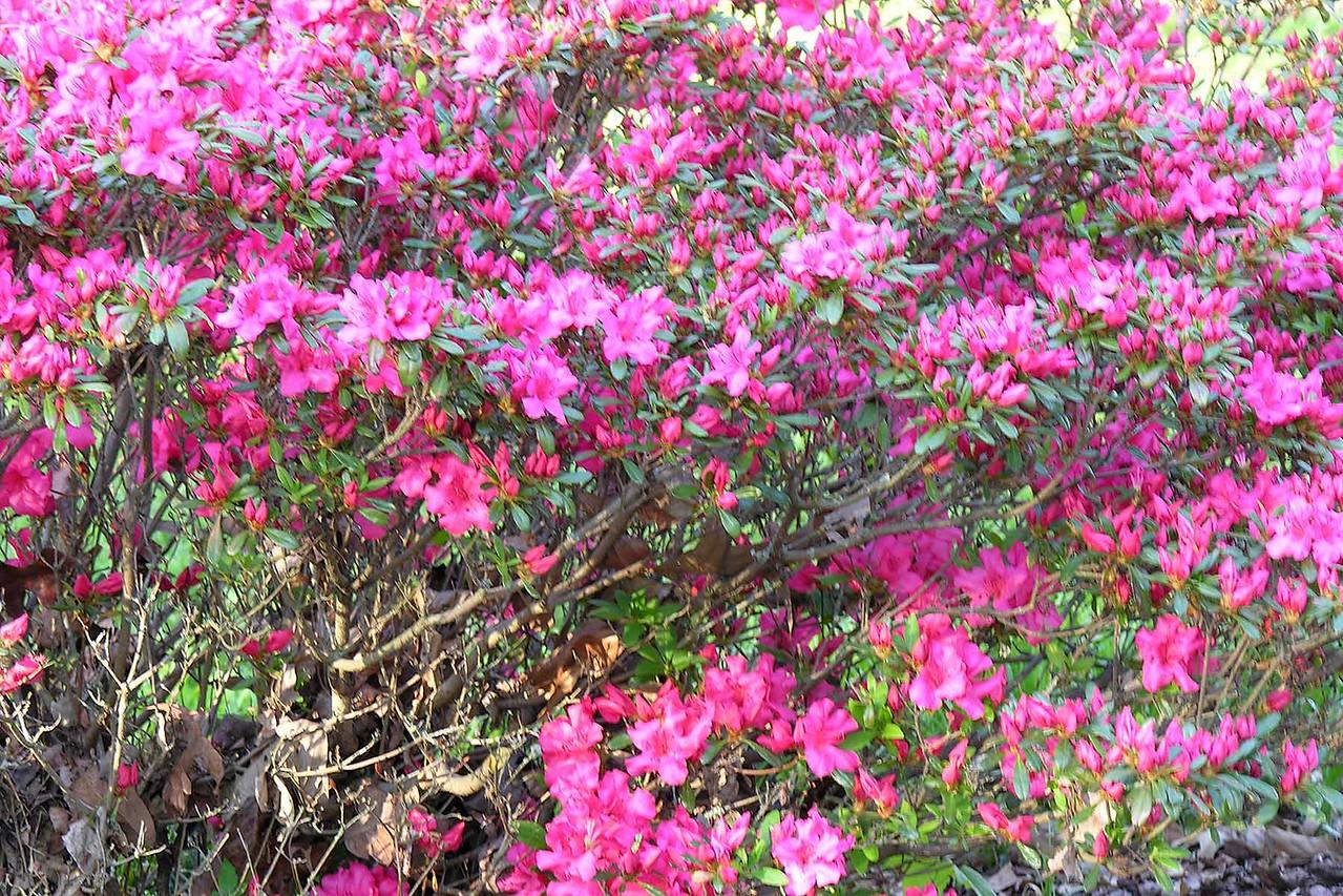Dawson's azaleas