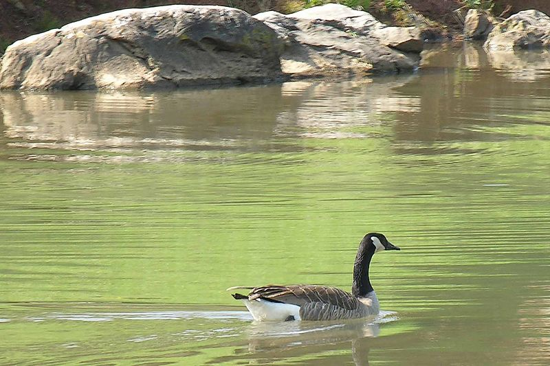 Greenbelt Lake - lots of ducks
